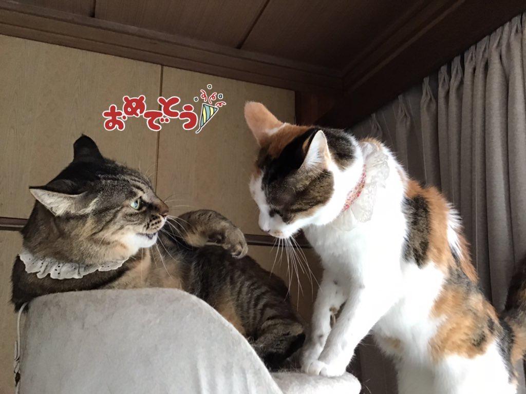いったん元気になって、先住猫と猫タワー上段を奪い合うほどになった三毛猫)
